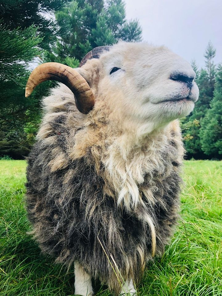 Our herdwick sheep sprout
